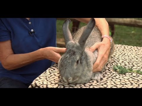 All about Rabbits: How to Safely Pick Up a Rabbit