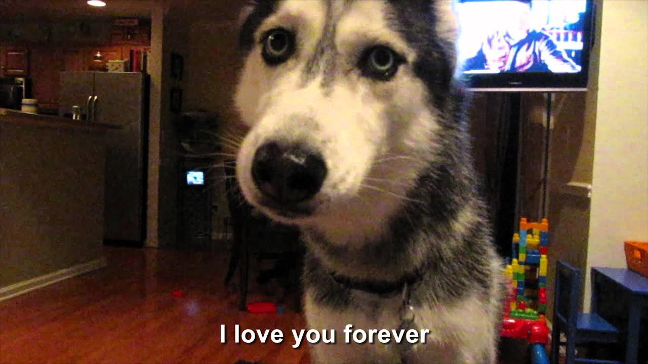 Husky Dog Says I Love You Video