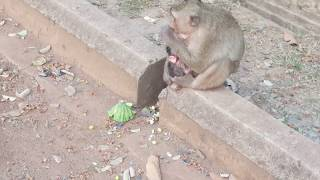 Wow! Big Monkey Doing Wat????  New Born Baby Monkey eat milk mom and more funny Monkey