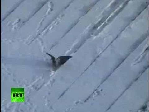 Crowboarding: Russian roof-surfin' bird caught on tape