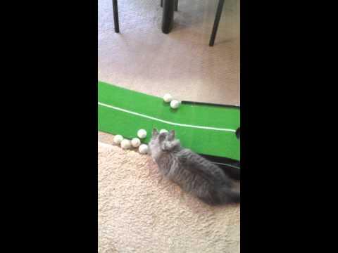 動くものには目がない!ゴルフのパター練習を邪魔する猫