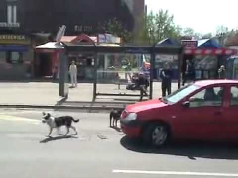 Dog vs Car 2. Dog wins! (Funny) Video