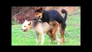 German Shepherd Mix Vs Berger Picard Near Pigs Farm In Village | Dogs Meeting In Raining Season