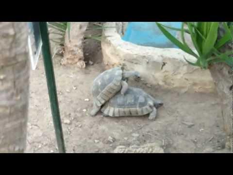 Cum Se Iubesc Testoasele   How Turtles Do It ? video