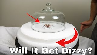 Do Spiders Actually Get Dizzy? Spinning a Hobo Spider on a Turntable Then Letting It Try To Walk