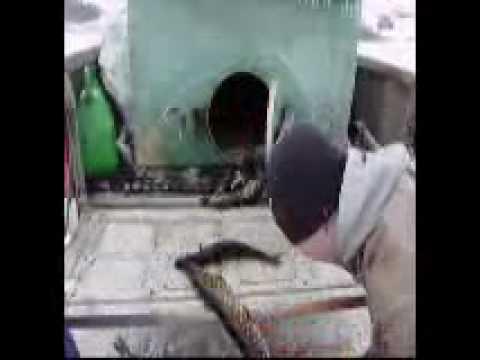 Zarybianiue jeziora Boksze Szczupakiem od 100g do 5 kg
