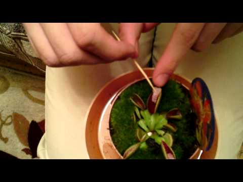 Как сажать мухоловку из семян 84