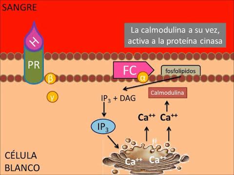 Mecanismos de acción hormonal.