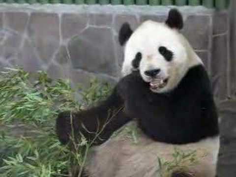 王子動物園 パンダのコウコウ01