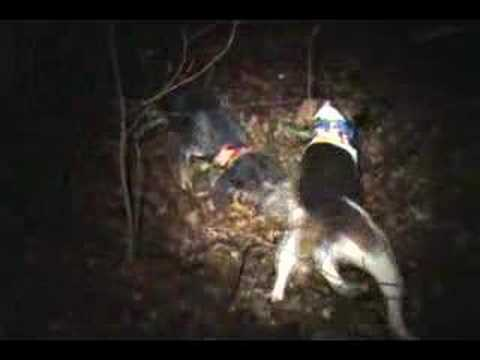 Coon Hunting. Walker & Bluetick 1-12-08 treed great video. Arkansas. Video