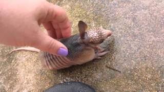 Orphaned baby armadillo discovered in backyard