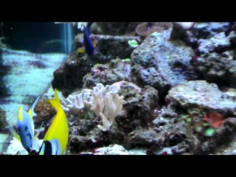 Powder Blue Tang and Fox Face Marine Fish Video