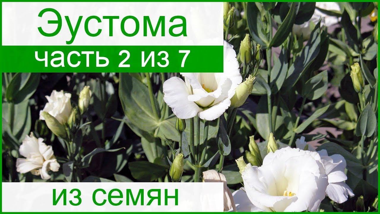 Выращивание эустомы из семян пошагово с 132