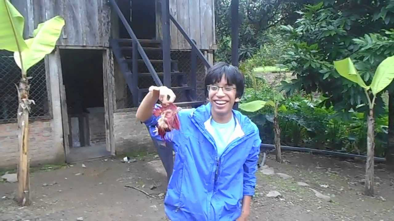 Rooster Kills Rooster Killing a Rooster