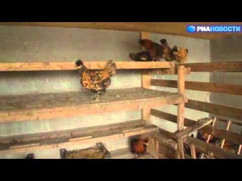 Российский птицевод о преимуществах фермерских кур