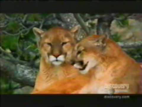The Puma (Mini-Documentary)