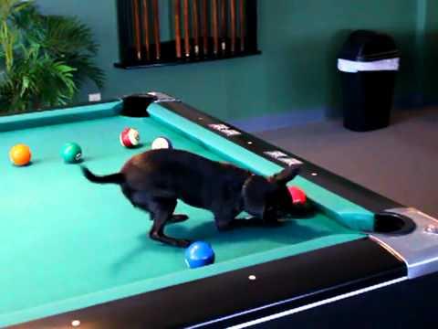 Собака и бильярд