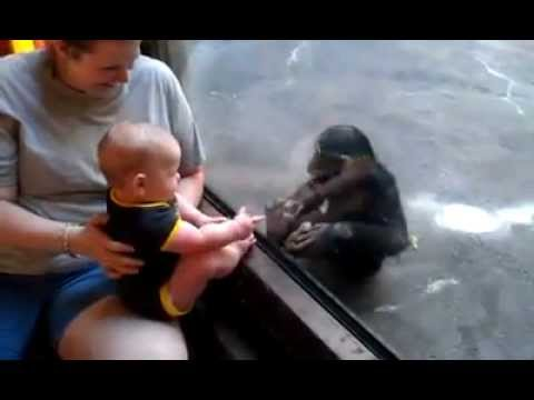 Baby and Chimp Make a Connection at the Zoo