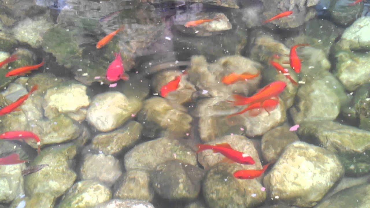 Il mio laghetto da giardino youtube for Laghetto giardino zanzare