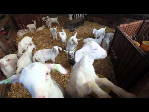 Britain's Largest Grazing Dairy Goat Herd