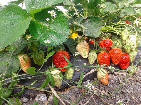 Клубника клери выращивание в теплице 100