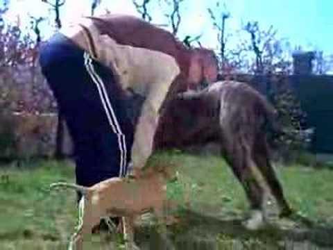 mastiff vs pitbull / Tibetan mastiff pit bull / Tibetan mastiff pit