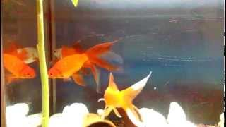 Sarasa comets Goldfish almost 6 years all female