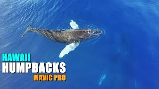 HUMPBACK WHALES MAUI - DJI Mavic Pro - [Calf Plays While Mother Naps]