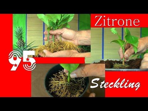 Zitrone. Die Sämlinge und wie geht es weiter mit den Exoten und anderen Pflanzen Teil 95