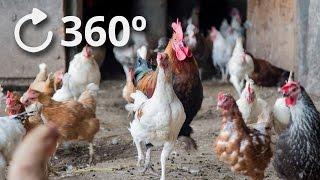 360º Chicken Stampede - Getting Hit by Chickens 4K