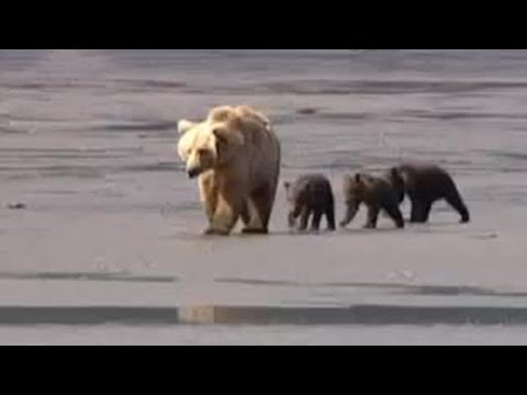 Mother black bear and cute baby cubs - animals of Alaska - BBC wildlife