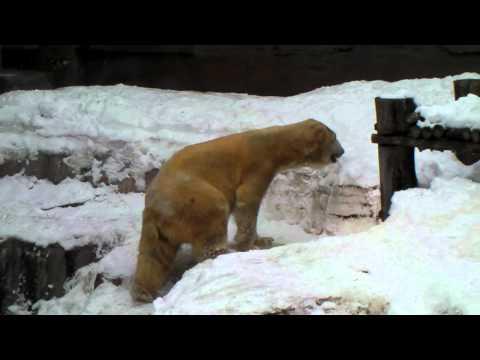 ホッキョクグマのキャンディ 円山動物園 初公開~雪を楽しむ