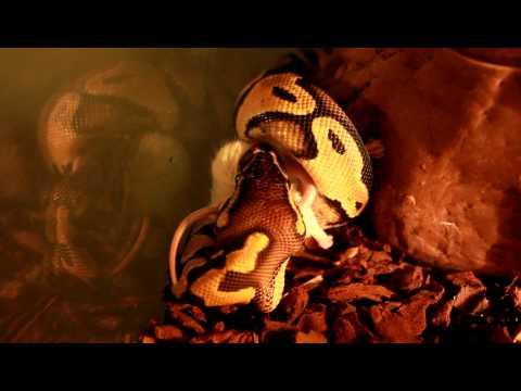 ужин python regius (L.P) part 2