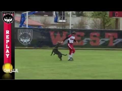 كلب يسرق قفازات اللاعبات خلال مباراة بيسبول