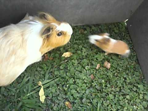 Parte 1 - Cobayos, Chanchitos de la india, Guinea Pigs LA MAMA CUIDA A SUS HIJOS