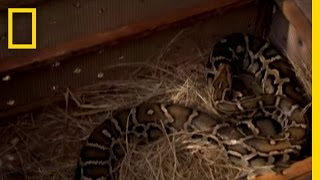 Pet Python Attack | National Geographic