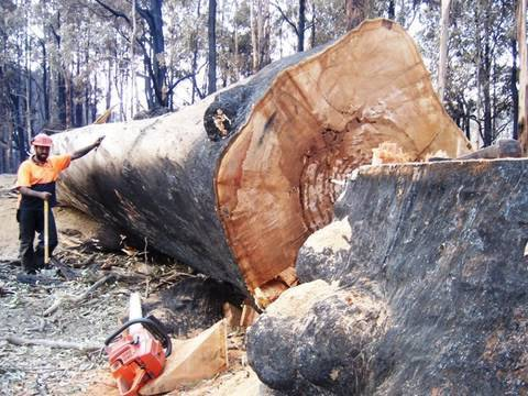 Bush Fires Victoria Australia Big Tree And Tree Felling Take Down By A 3120xp Husky Chainsaw. video