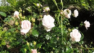 GWORLD 003 - tying in a climbing rose. Part 3/3 - flowering.