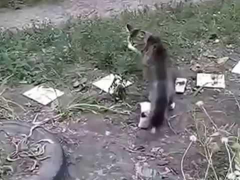 НАПАДЕНИЕ КРЫСЫ НА КОТА!