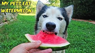 My Husky Try Fruits And Vegetables - ASMR