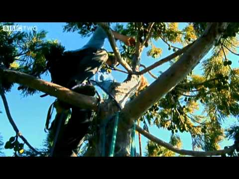 Climbing the World's Tallest Trees - How to Grow a Planet - Episode 1 - BBC Two