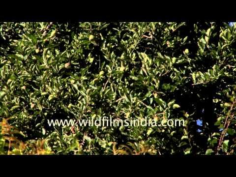 Lush green valleys en route Lamkhaga Trek, Himachal