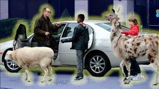 Lyft Farm Animals Prank - Kids Prank it Up