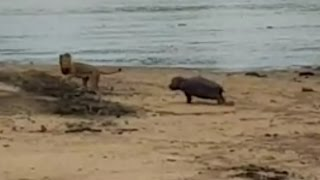 Baby Hippo protects sick Hippo mom from Male Lion