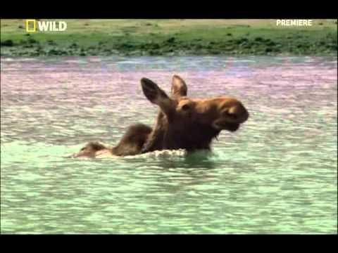 медведь против лося.mpg