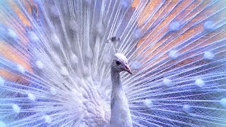 Handsome white peacock