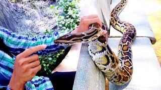 The gentle Python (Trăn đất hiền lành)