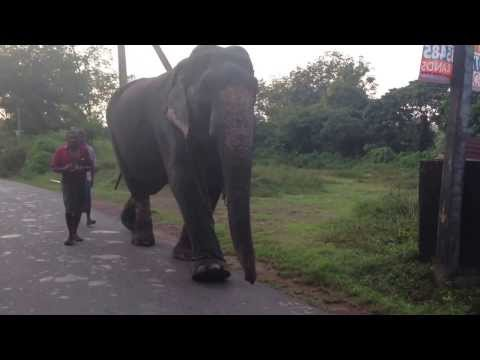 Animal Domestic Elephant In Sri Lanka Safari Toptenworld video