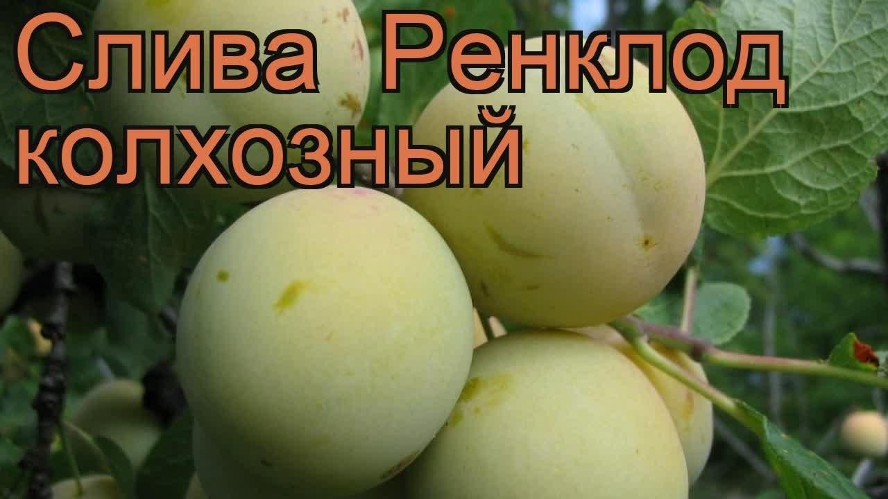 Слива Ренклод Колхозный Описание Сорта Фото