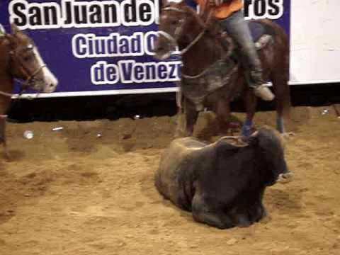 toros coleados en la manga de coleo victor manuel sarmiento san juan de los morros (estrenandola)